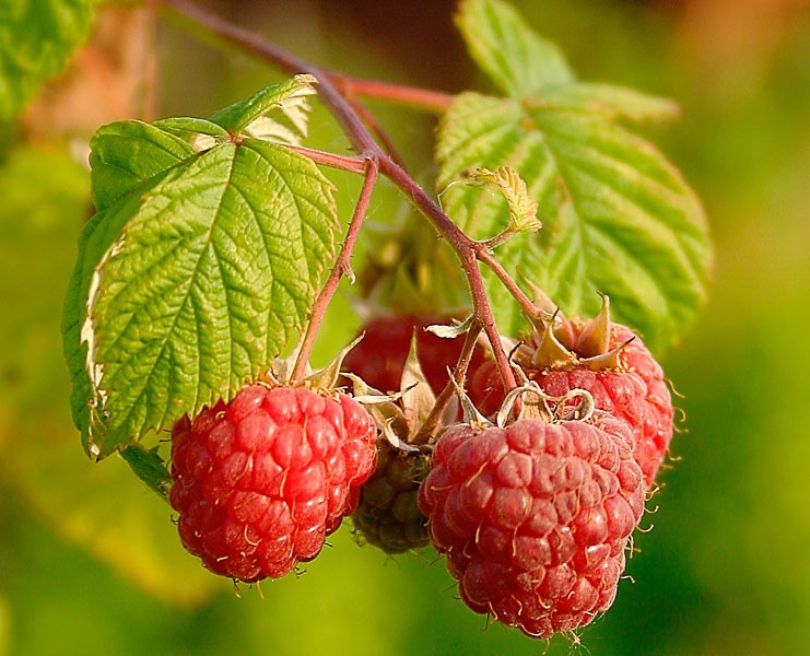 Rubus_Idaeus