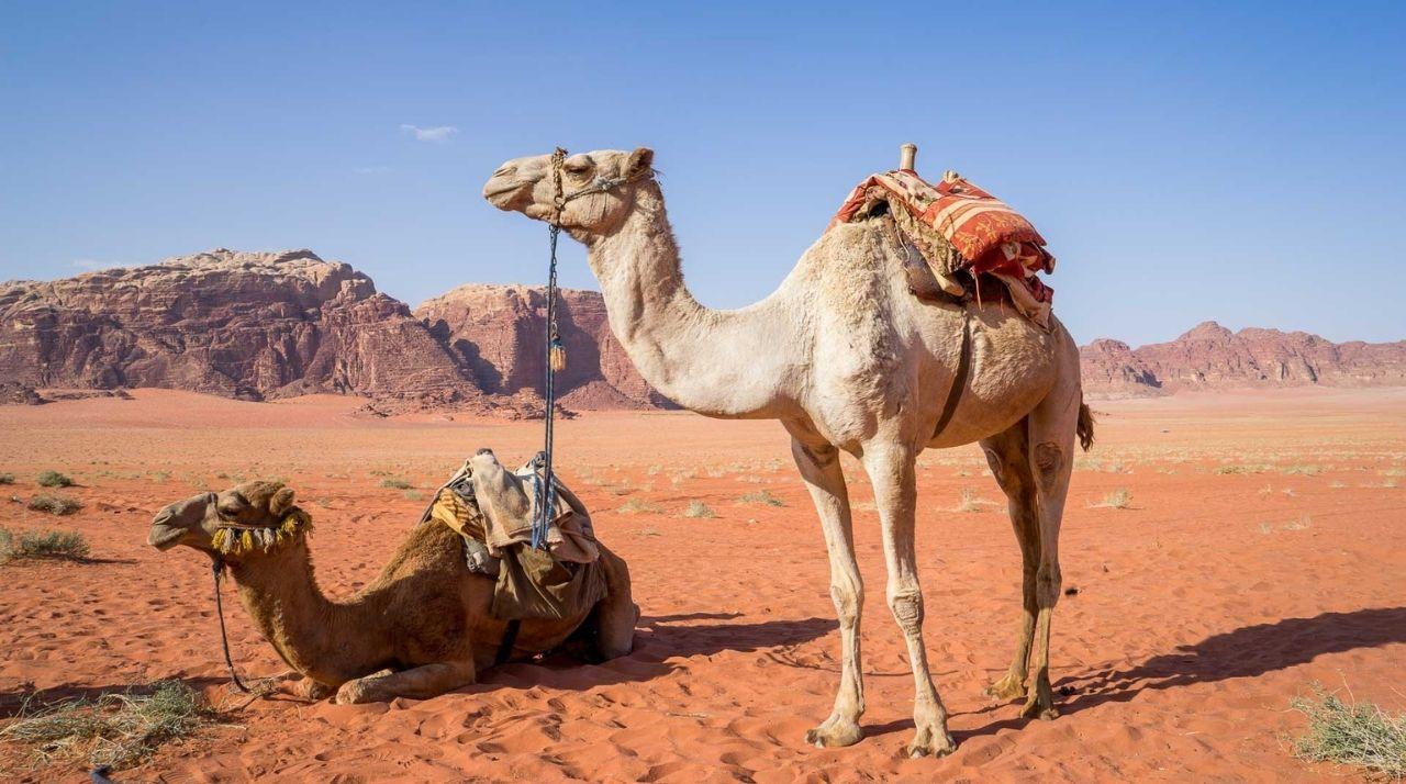 Viaggio di Nozze in Medio Oriente_Cammelli