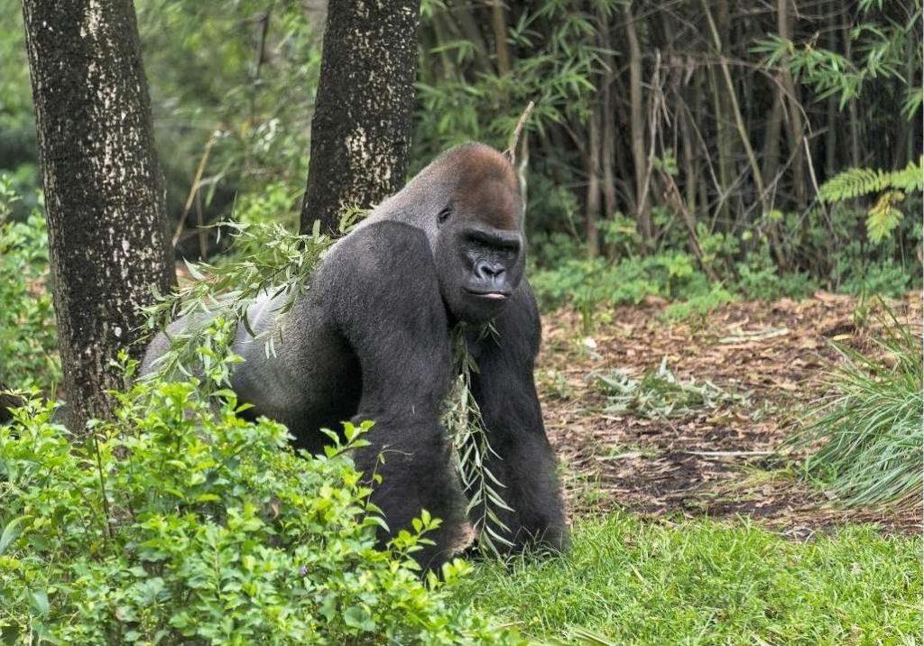 Gorilla in uno dei bellissimi parchi in Gabon